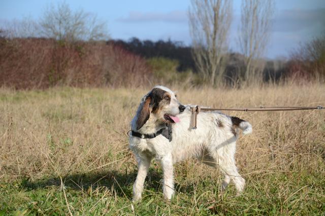 DOLLY - x griffon 10 ans   (2 ans de refuge) - Refuge de Bayonne (64) 1995-2-adopter-un-chien-dolly