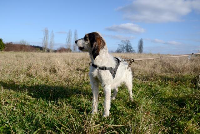 DOLLY - x griffon 10 ans   (2 ans de refuge) - Refuge de Bayonne (64) 1995-3-adopter-un-chien-dolly