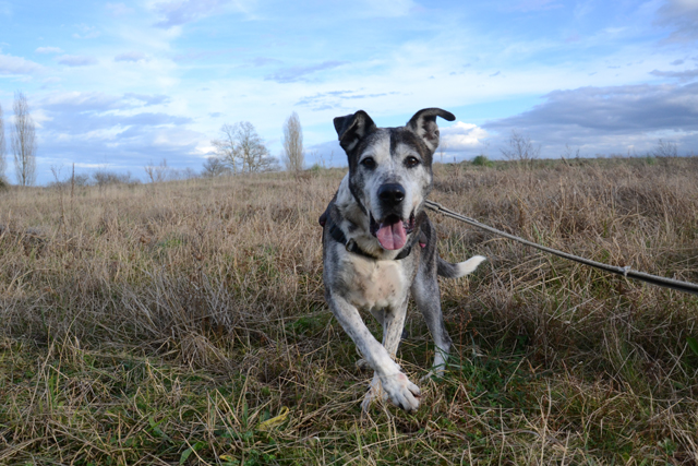 GUTCHO - x boxer 15 ans - Refuge de Bayonne (64) 2011-2-adopter-un-chien-gutcho