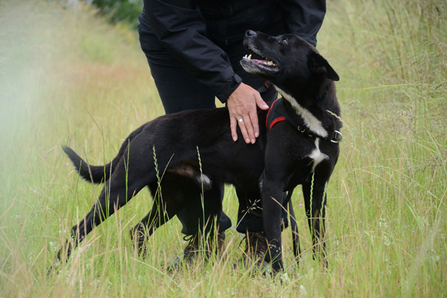 PEBROC - x labrador 6 ans - Refuge de Bayonne (64) 2107-2-adopter-un-chien-pebroc
