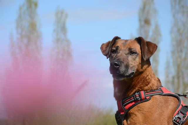 BESTIOLE - x berger 9 ans (7 ans de refuge)  Refuge de Bayonne (64) 1386-1-adopter-un-chien-bestiole