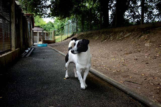 FICELLO -  x ratier 6 ans - Refuge de Bayonne (64) 2631-2-adopter-un-chien-ficello